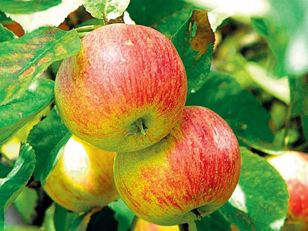 Odborník Na Staré Odrůdy Prozradí, Jaké Ovoce Se Unás Pěstovalo Dříve