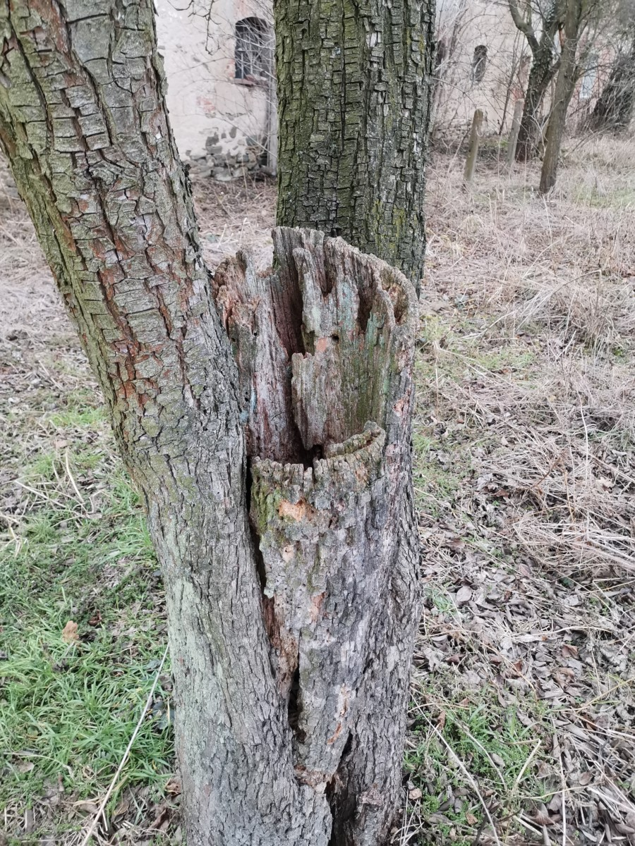 Část Stromu Odumírá, Ale Zbytek Je Stále Dost Vitální