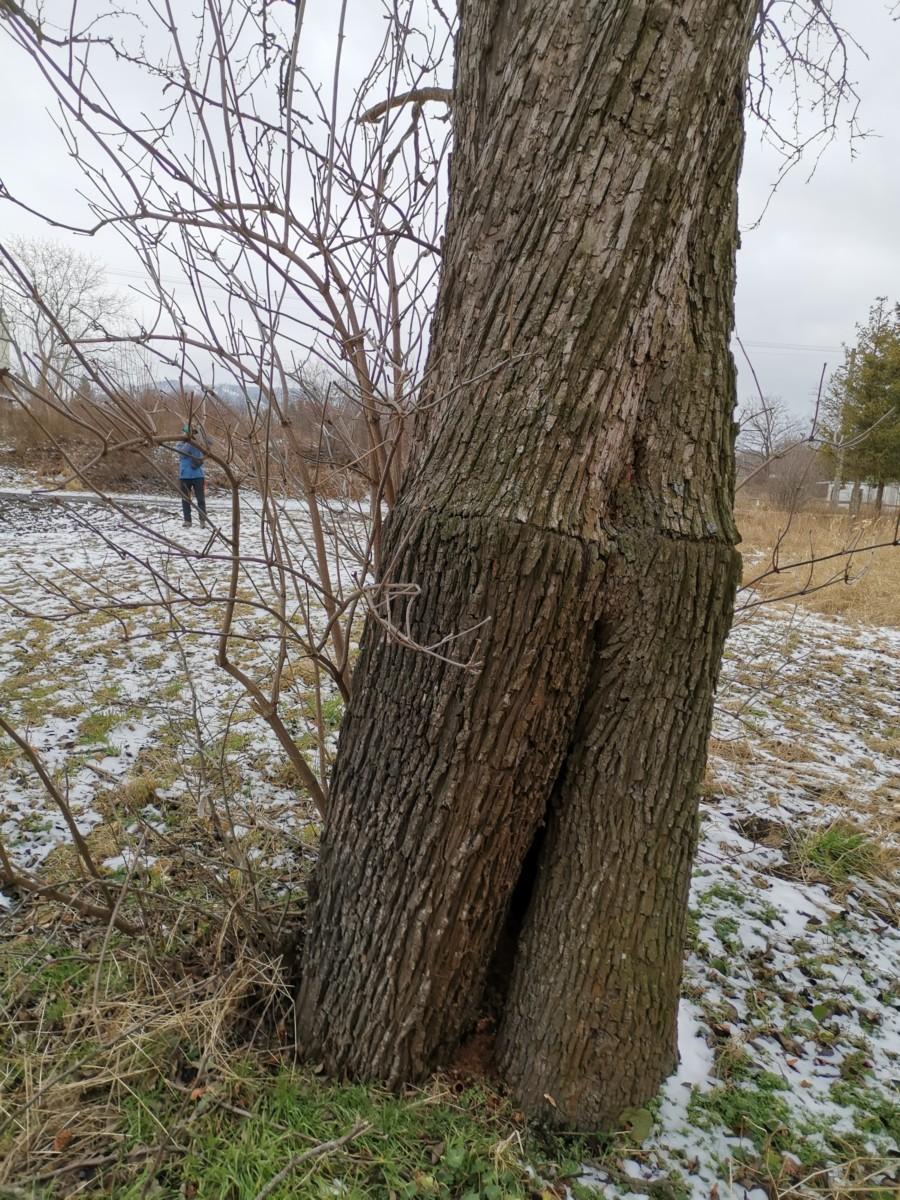 Další Patrné Místo Roubování Na Obrovském Stromě V Jindřichově
